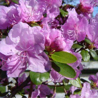 Рододендрон бузковий Rhododendron ledebourii