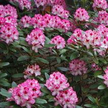 Рододендрон гібридний Rhododendron hybridum