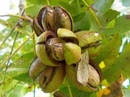 Орех пекан  Кария иллинойская Carya illinoinensis