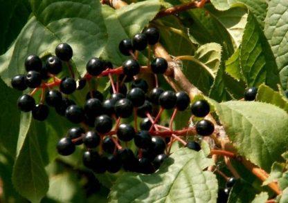 Черёмуха обыкновенная Prunus Рadus avium Mill
