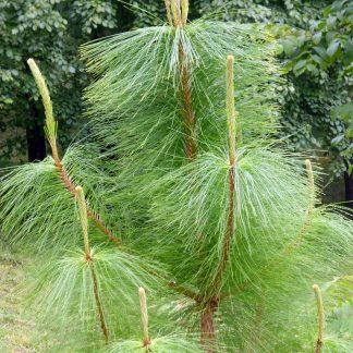 Сосна кхасійська  Pinus kesiya