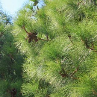 Сосна длиннохвойная Роксбурга Pinus roxburghii