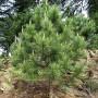 450px-Pinus_gerardiana_India16
