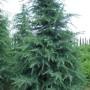 56533dfa380eb5b98d4dae613c1bc2b4--cedrus-deodara-big-plants
