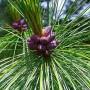 Chilghoza Pine