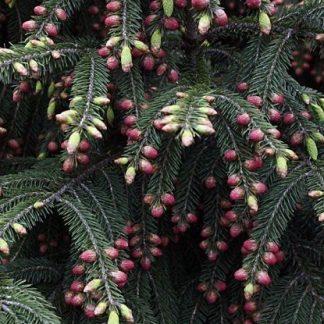 Picea wilsonii v. Watsoniana Ель Вильсона (Ватсона)