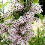 Xanthoceras-sorbifolium-Kineski-kesten-2-semenke_slika_O_45680661