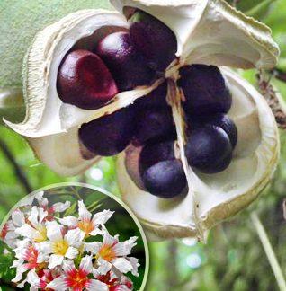 Ксантоцерас  горобинолистий  Xanthoceras sorbifolium Bunge
