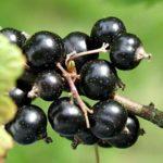 berry2
