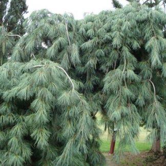 Сосна поникающая  Pinus patula