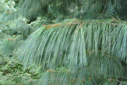 Сосна Гималайская   Pinus wallichiana( griffithi )