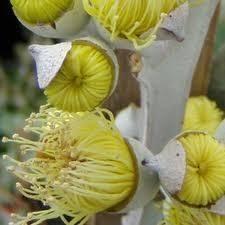 Евкаліпт цитрусовий  Eucalyptus citriodora