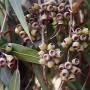 Eucalyptus_citriodora_-_Fruit