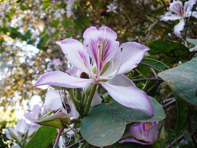 Орхидейное дерево.Баухиния Bauhinia. Выращивание. Мой опыт