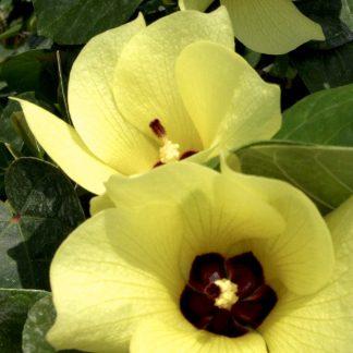 Орхидейное дерево Bauhinia tomentosa