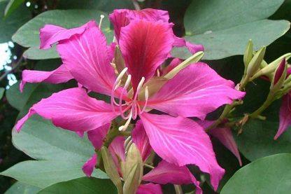 Орхідейное дерево Баухінія вариєгатна Bauhinia variegata