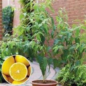citronovy-eukalyptus-blahovicnik-seminka-7-ks