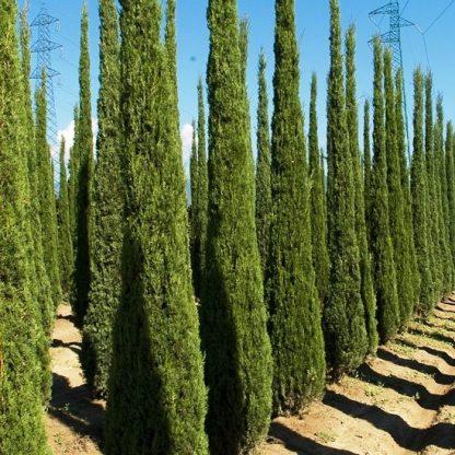 Кипарис Итальянский вечнозелёный Cupressus sempervirens