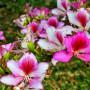 nurserylive-Bauhinia-Variegata-seeds