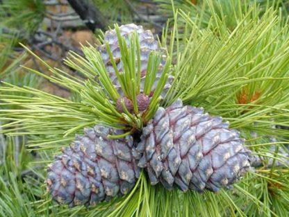 Сосна кедровая сибирская Pinus sibirica Rupr.