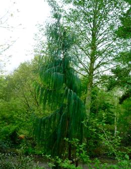 Кипарис гималайский  Cupressus torulosa