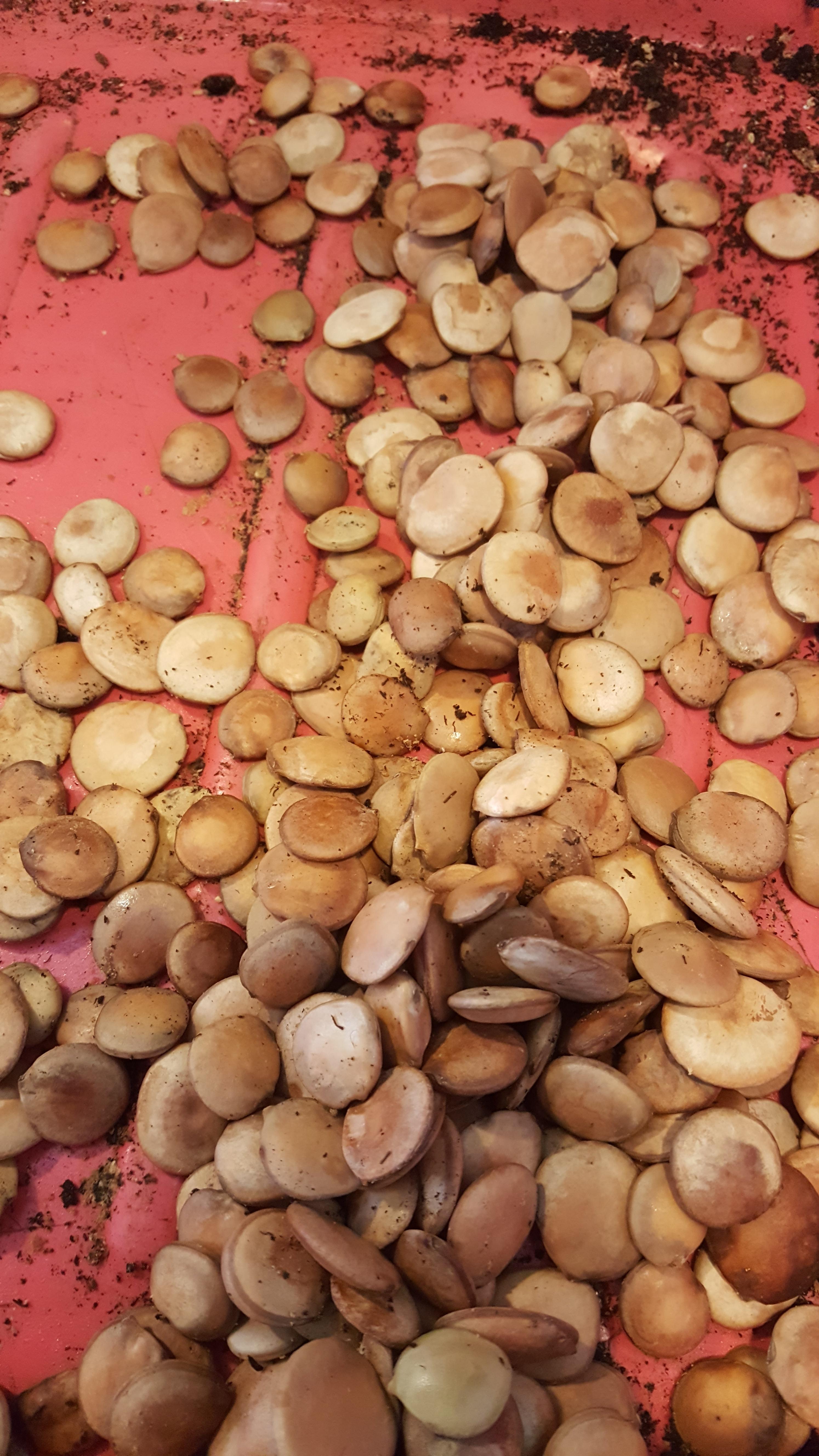 Баухиния выращивание из семян фото