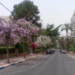 баухиния в израиле