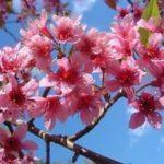 вишня вишнеобразная