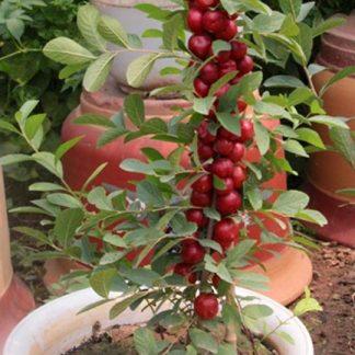 Вишня карликовая  Cerasus humilis
