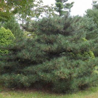 Сосна густая  Pinus densata