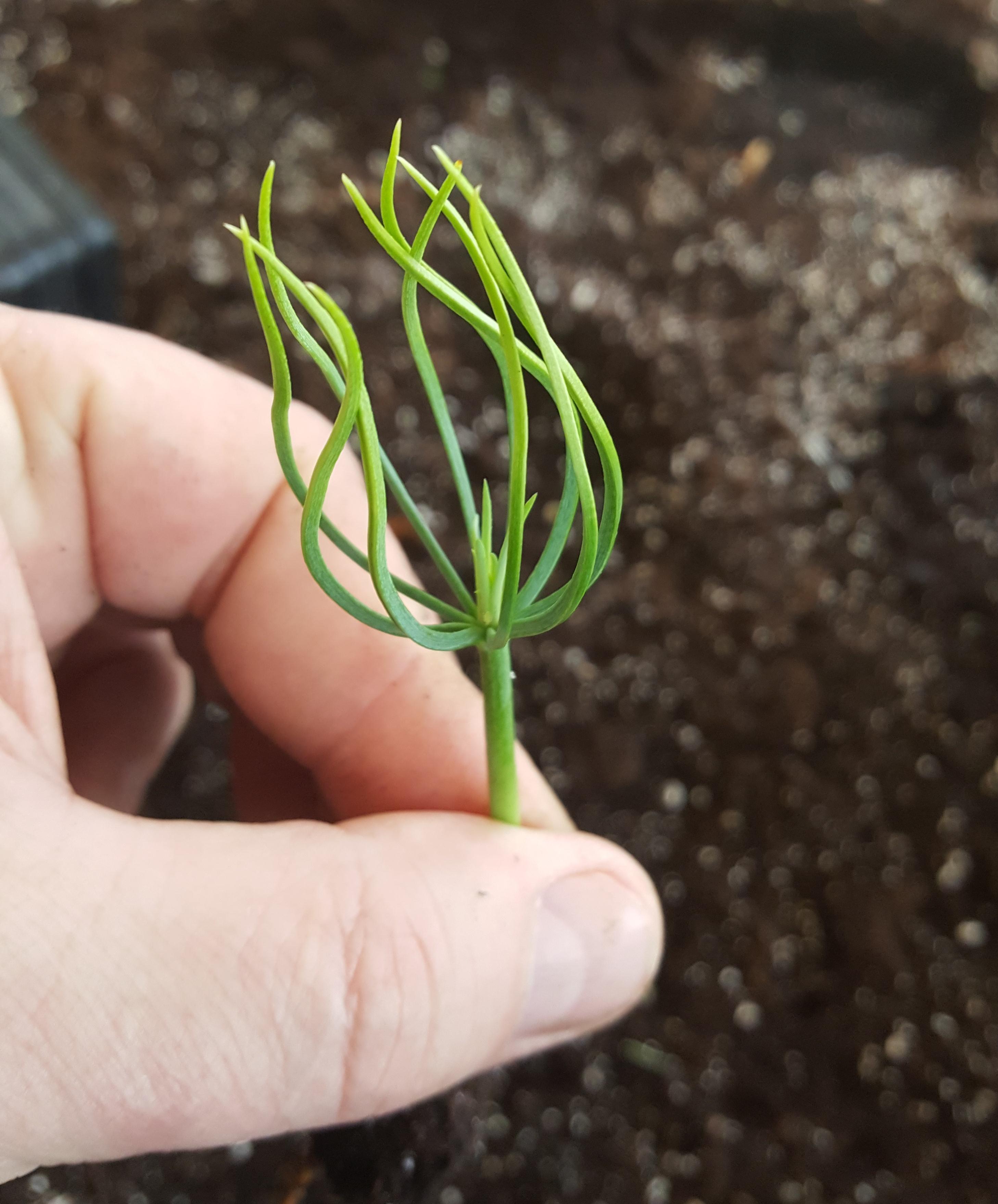 Длиннохвойные сосны, самые красивые сорта. Выращивание.
