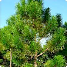 Сосна Эллиота Pinus elliottii