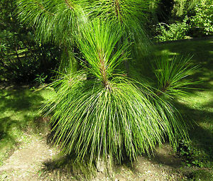 Сосна юньнаньская Pinus yunnanensis