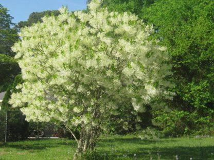 Софора японська Sophora L.