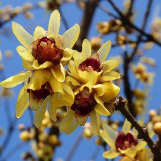 Химонант скороспелый Chimonanthus praecox