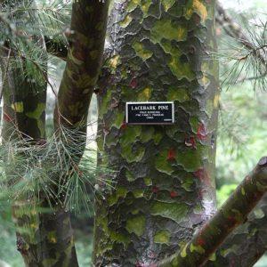 800px-Lacebark_Pine_bark_and_foliage_at_the_BBG