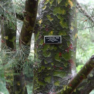 Сосна белокорая Бунге Pinus bungeana