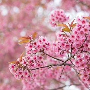 94143113-beautiful-pink-flower-wild-himalayan-cherry-flower-prunus-cerasoides-thai-cherry-blossom