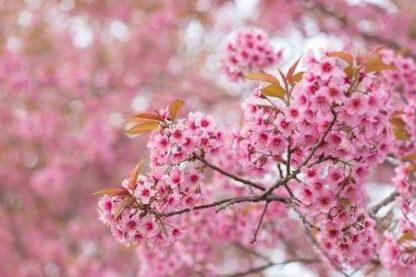 Гималайская сакура.Вишня вишнеобразная  Рrunus cerasoides
