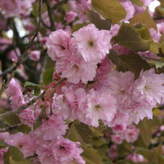 Японская сакура. Вишня мелкопильчатая Prunus serrulata