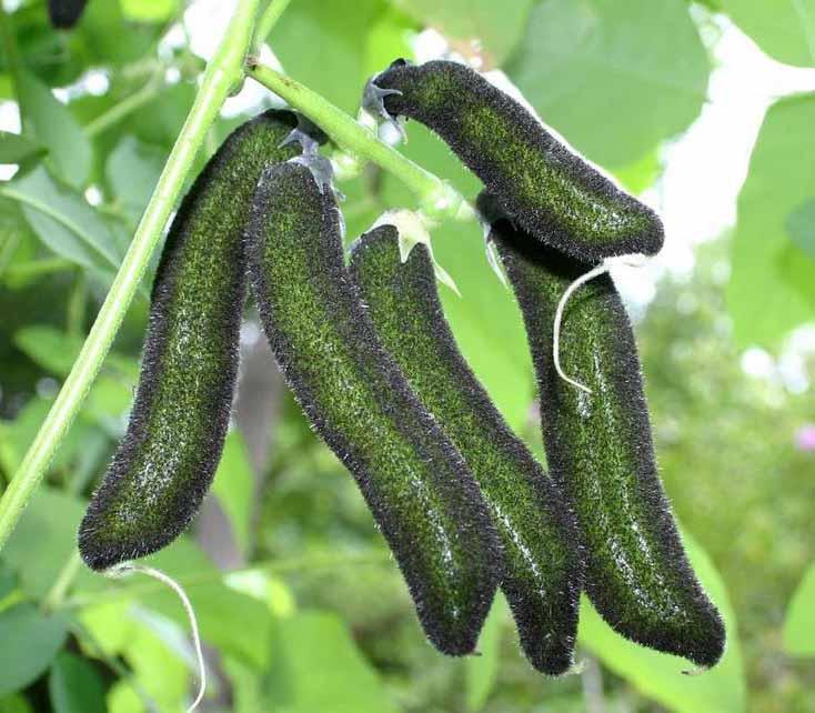 Mucuna pruriens или мукуна жгучая еда
