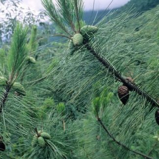 NEW! Сосна Массона Pinus massoniana