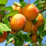 abrikos-ananasniy2