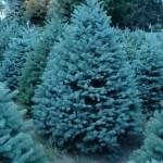 Ель-голубая-Маджестик-BLUE-SPRUCE-MAJESTIC-PICEA-PUNGENS-150x150