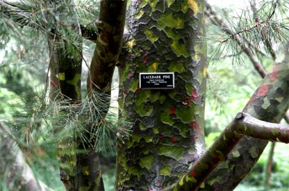 Сосна  Бунге Pinus bungeana