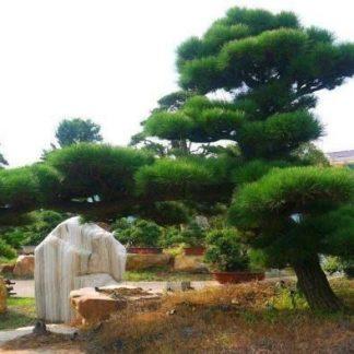 Сосна густа Pinus densata