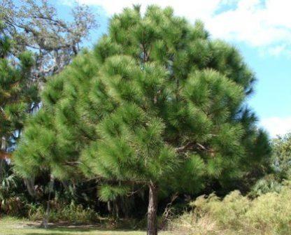 Сосна еліота Pinus elliottii