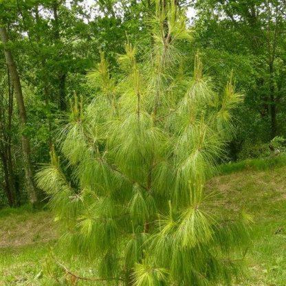 Сосна жовта мексиканська Pinus patula