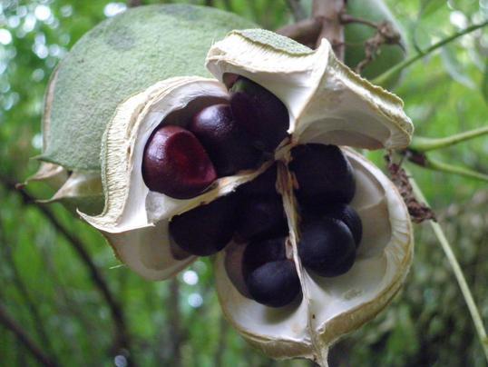 Малоизвестные орешки, как мы выращиваем саженцы уникальных орехов.