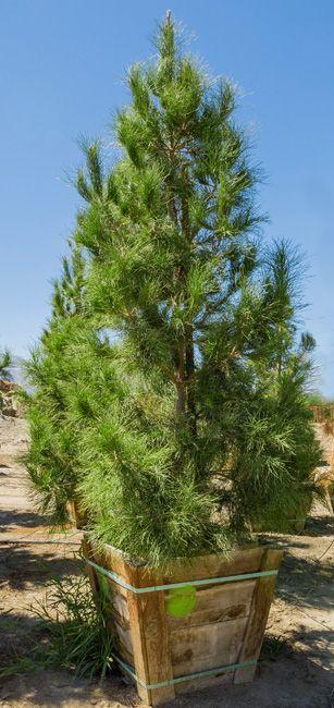 Сосна ельдарська pinus eldarica